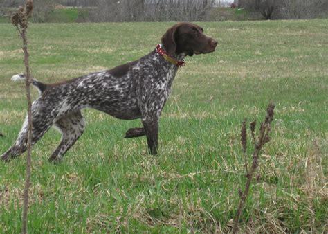 how to bird dogs bird breeds pointers