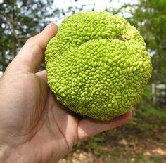 hedge ball monkey ball tree images hedge apples