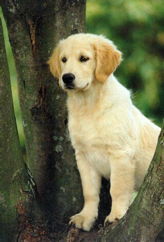 golden retrievers tips 203 best images about best friend on sheep dogs puppys and spaniels