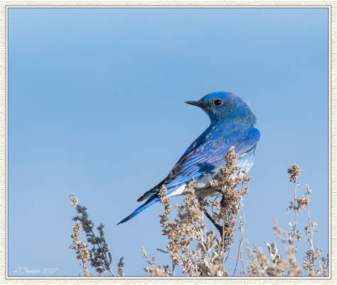 mountain western bluebirds of eastern washington fm forums