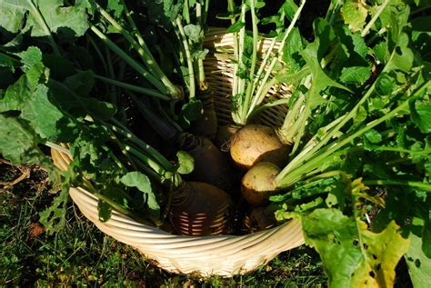 rutabaga plant issues common pests  diseases