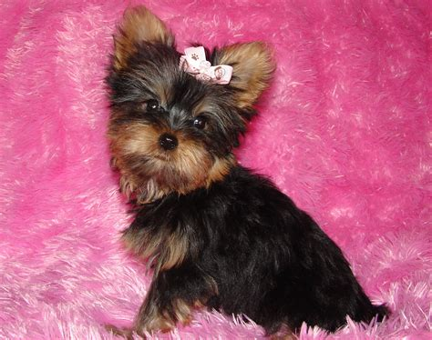 teacup yorkies for sale indiana yorkie puppies for sale available puppies