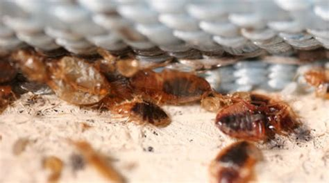 Bed Bug Hiding Places by Bedbug Gallery Bed Bugs Pest Bronx Bed Bugs Pest Exterminators Of Bronx