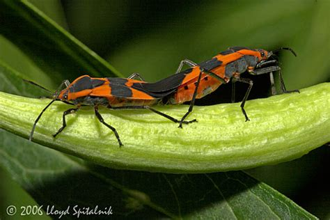 bed bugs mating large milkweed bug mating