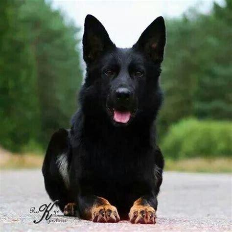 all black german shepherd german shepherd all black www pixshark images