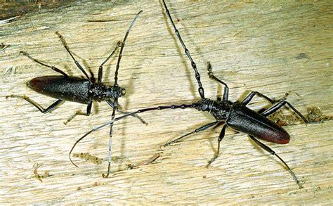 insetto nero volante cerambyx cerdo