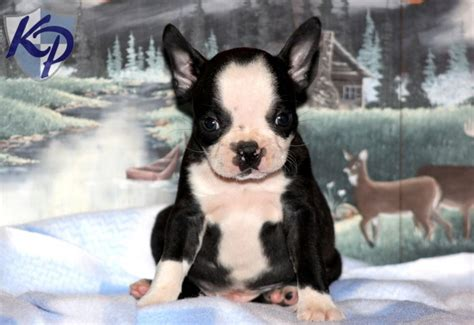 boston terrier puppies for sale in wi 48 best images about boston terrier puppies on 1 year olds for sale and
