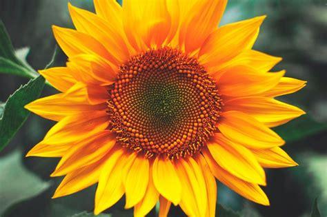 imagenes hermosas girasoles flores bonitas girasoles im 225 genes y fotos