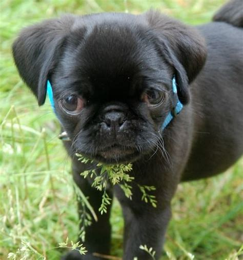 pug with baby baby pug products i