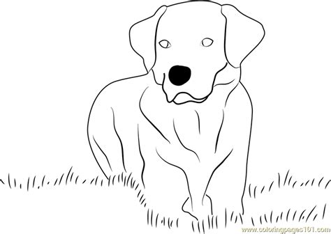 labrador coloring pages yellow labrador retriever coloring page free