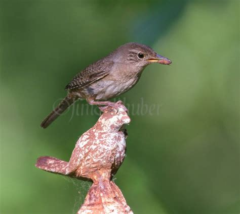house wrens bringing food to the nest hole to feed the