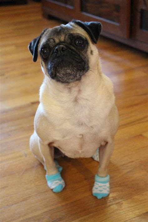 pugs for sales uggs for dogs pugs