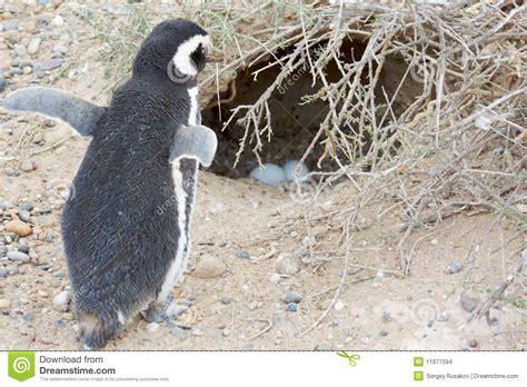 the birds nest penguin b00i1aa18c penguin and nest stock photo image of birds nobody 11977594