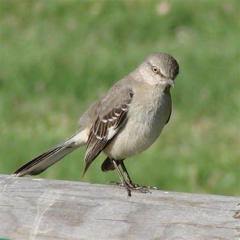17 best images about mocking birds on pinterest nests