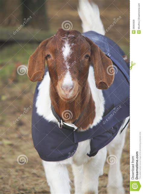 heat l for goats billy goat with wrap or comforter stock image image