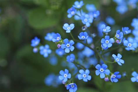 not day forget me not day