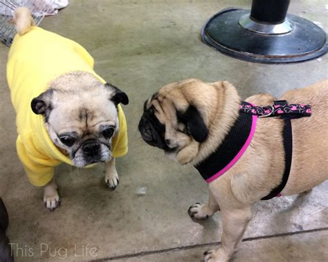 i my pug so much pug visits his grumble this pug