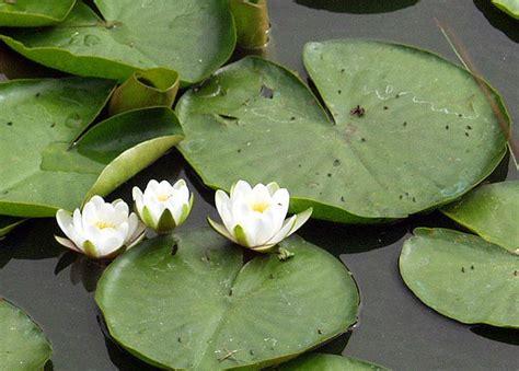 Jual Bibit Bunga Teratai Salju bunga teratai tanaman air nan eksotis jual bibit bunga