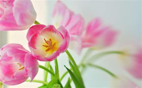 flower wallpaper youtube hd tulip wallpaper hd desktop wallpapers 4k hd