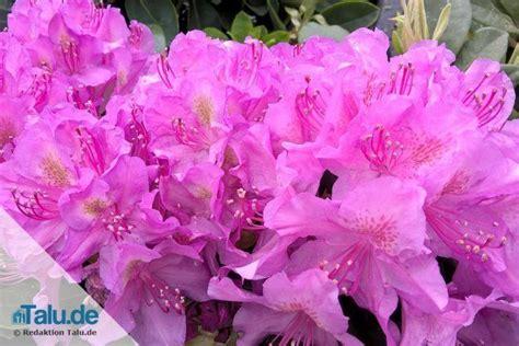 Rhododendron Giftig by Ist Rhododendron Giftig Vorsicht Bei Katze Und Hund