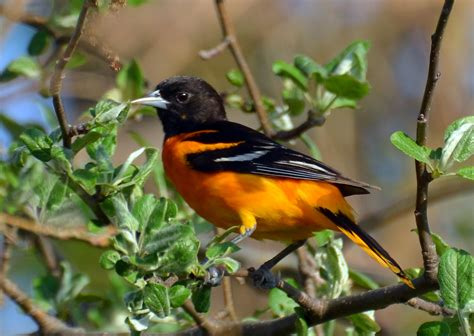 how to attract baltimore orioles to your backyard how to