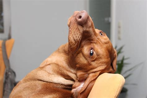managing vizsla shedding canna pet