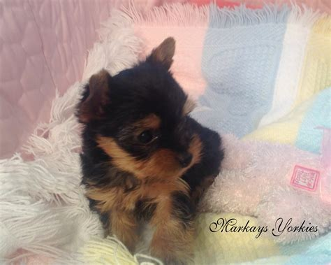 yorkie puppies mn teacup yorkies for sale in minnesota breeds picture