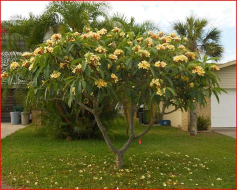 plumeria tree florida 25 best ideas about plumeria tree on pinterest florida