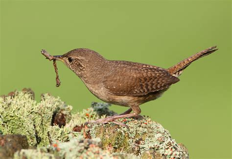 wren with food flickr photo sharing