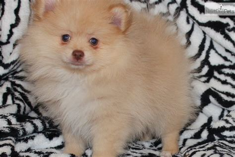 nose pomeranian for sale pomeranian puppy for sale near dallas fort worth c9b79b8b b071