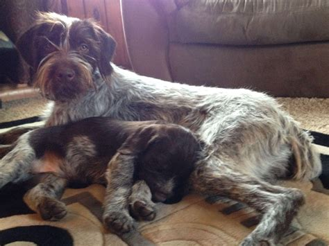 wirehaired pointing griffon puppies for sale 2016 wirehaired pointing griffon pups puppies for sale