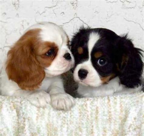 razze canine da appartamento 20km info allevamento e vendita di tutte le razze canine