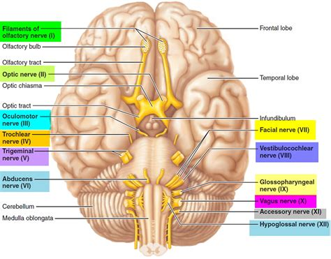 cranial nerve diagram cranial nerves names of the 12 cranial nerves mnemonic