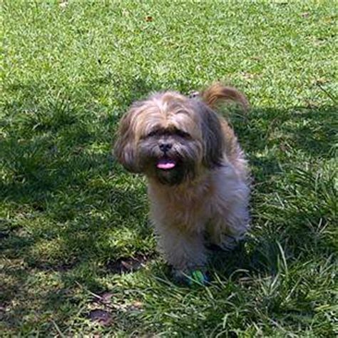 how often should you wash a shih tzu shih tzu senior care