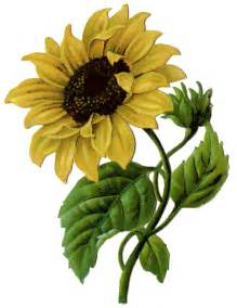 vintage graphic beautiful sunflower 2 the graphics fairy