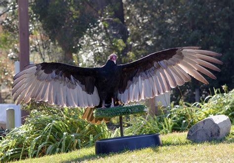 file turkey vulture jpg wikimedia commons