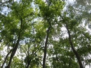 black locust the tree of abandoned spaces berlin plants