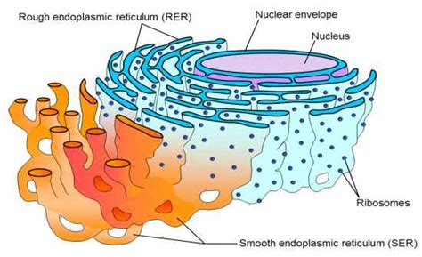 Smooth Endoplasmic Carcinogenic Detox by Flashcards Table On Parts Of The Cell