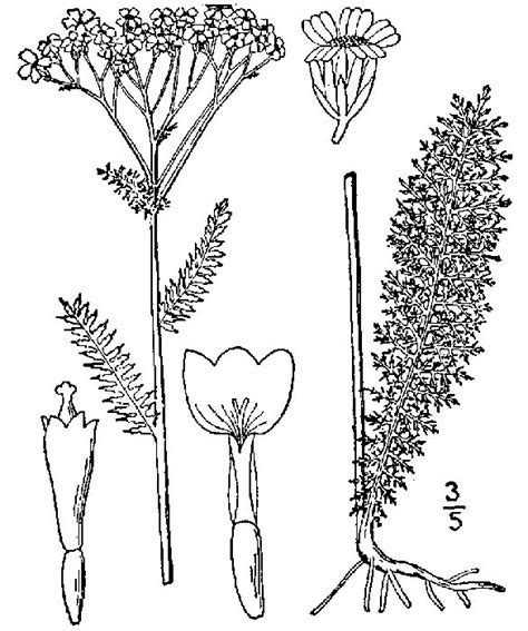 thyme herb coloring page sketch coloring page