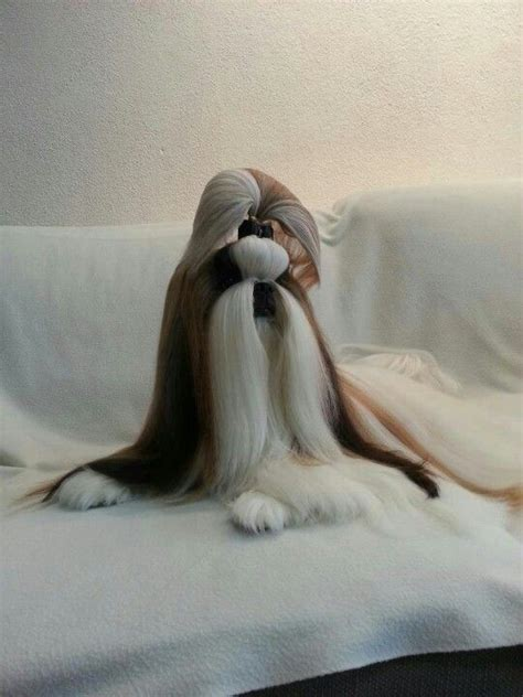 how long does it take for a shih tzu to grow back her hair 66 best images about long haired shih tzu on pinterest