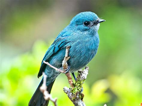 Blue Biru blue bird on branch aqua to turquoise bird