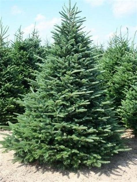 balsam douglas fraser and noble are all types of what 50 fraser fir tree seeds abies fraseri
