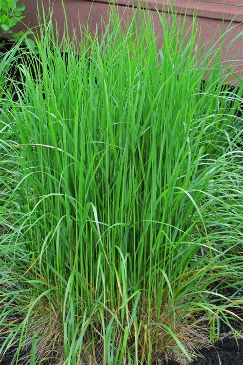 here come the ornamental grasses an obsessive neurotic