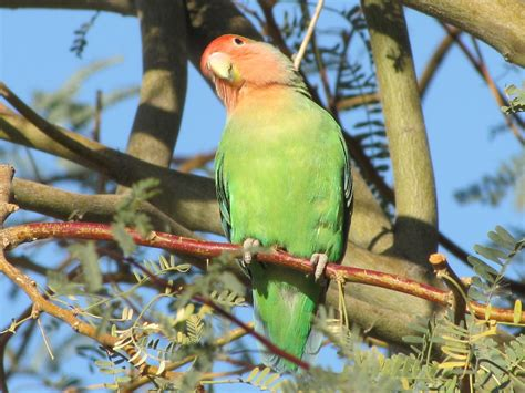 arizona s african valentine the rosy faced lovebird