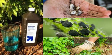 Garden Of H2o2 The Most Surprising Uses Of Hydrogen Peroxide In The Garden