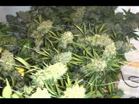 building   plants legal medical marijuana grow room