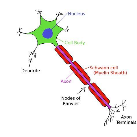 motor neuron definition file neuron1 jpg