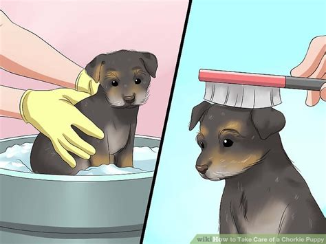 taking care of a puppy how to take care of a chorkie puppy with pictures wikihow
