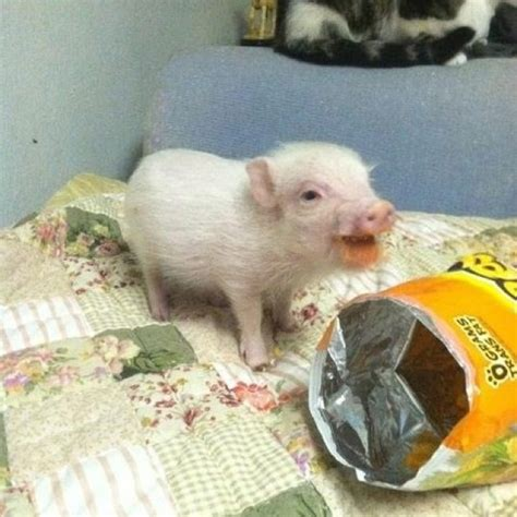 can dogs eat cheetos a piglet cheetos your daily dose of awww kettle piglets and