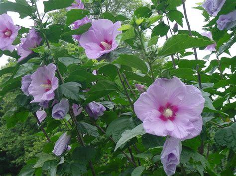 Flowering Shrubs Texas - dr sam mcfadden archives aggie horticulture